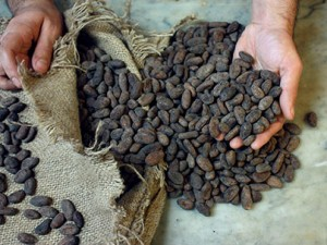 cacao bean to cup
